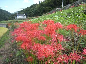 higanbana0809-1.jpg