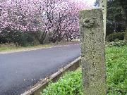 oumihikanzakura0903-9.jpg