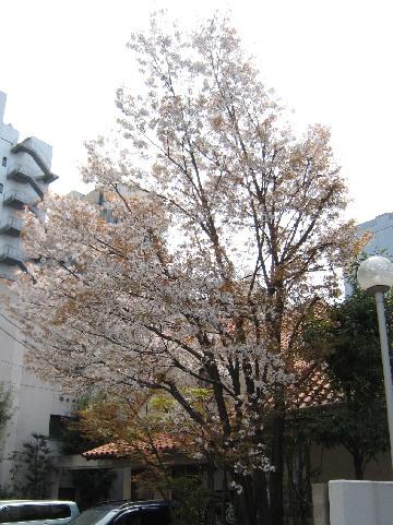 sakura-takamatu0903.jpg