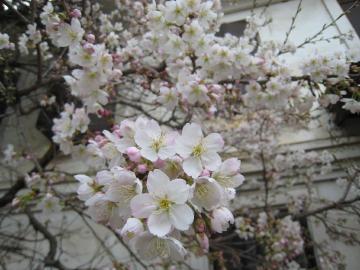 桜2 クリック拡大