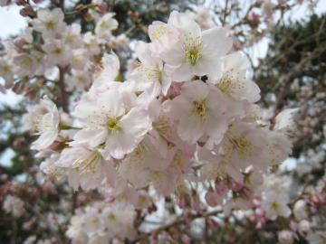桜3 クリック拡大