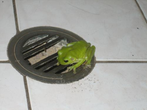 グリーンツリーフロッグ7