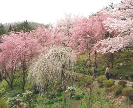 枝垂れ桜と枝垂れ梅