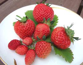 イチゴ収穫♪