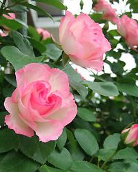 6月の花びら