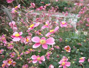 秋明菊が・・・