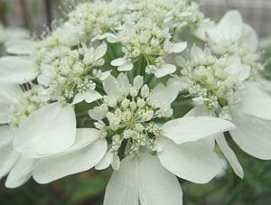 オルレイア 花びら