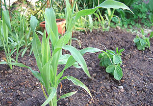 ミニ菜園 トウモロコシ