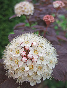 銅葉コデマリ 花