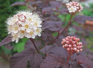 銅葉コデマリ 葉