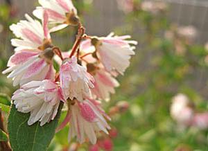 サラサウツギ 花