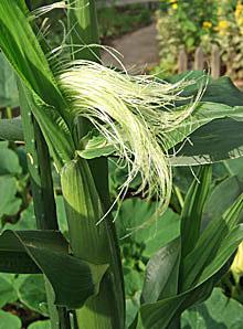 トウモロコシ 雌花