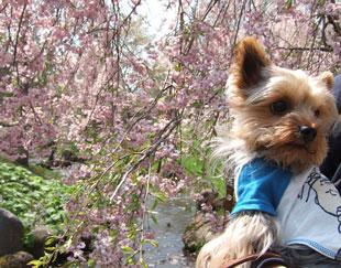 しだれ桜と