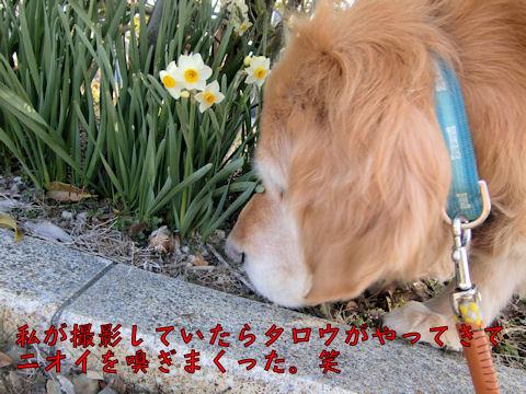 水仙~の香りは平気か?タロウ。
