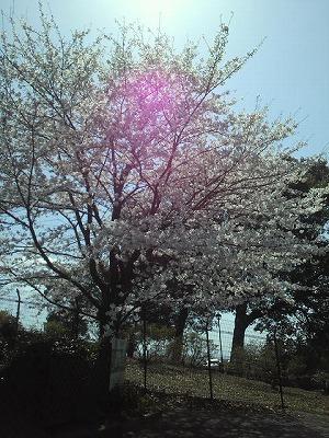 熊本は桜が満開!