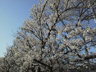 実家の近所の桜