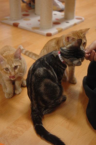 猫カフェ ねこ会議5