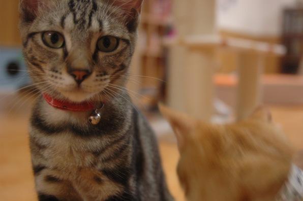 猫カフェ ねこ会議6