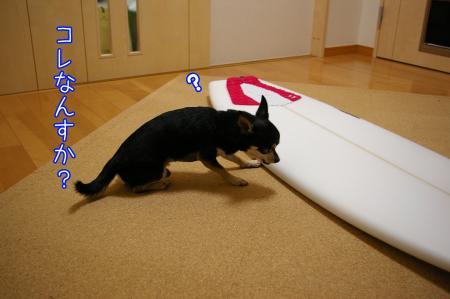 サーフィン犬1