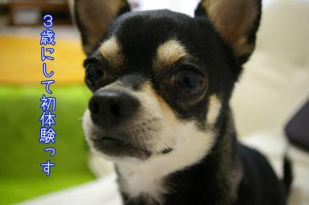 モヒカン犬1