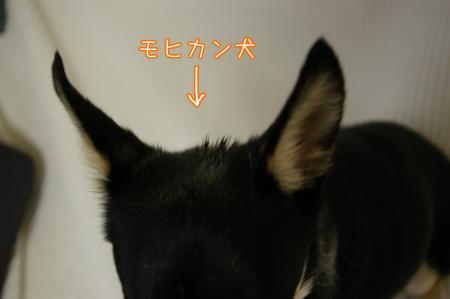 モヒカン犬3