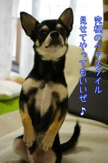 モヒカン犬4