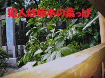 柿木の葉っぱ2