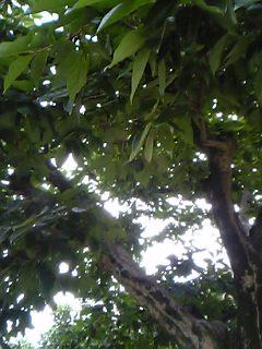 実を落とした柿
