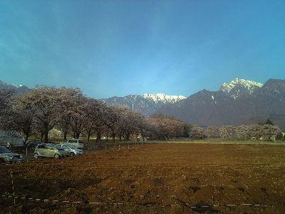 真原の桜並木と甲斐駒ケ岳