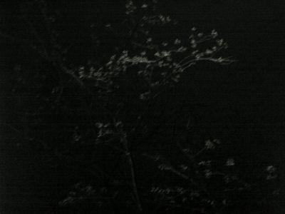 夜の桜のつぼみ