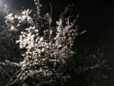 昨日の夜の桜