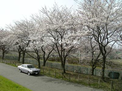 桜とルーチェ2