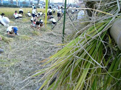 小学生の稲刈り