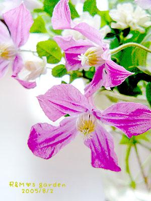 去年のお花ですが・・・クレマチスインスピレーション