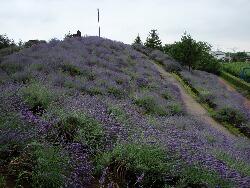 菖蒲町ラベンダー山2