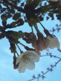 DVC00071 桜