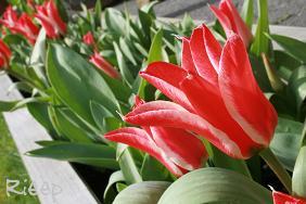 Tulip 019