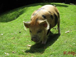 Stagland 001 pig
