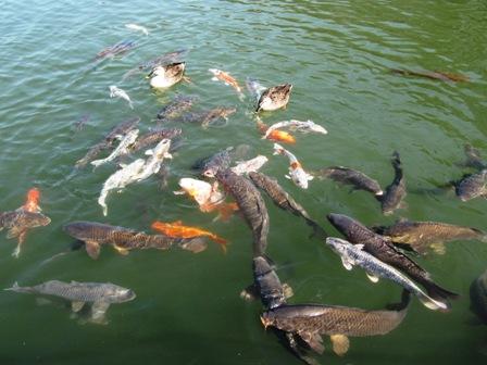鯉と餌を争うガーコ。