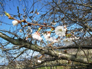 桜は五分咲き。