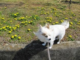春だよ、タンポポだよ。