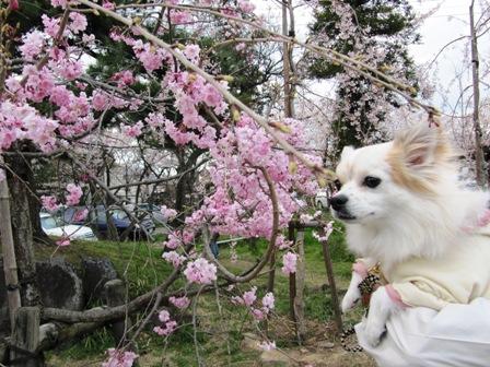桜と利久しゃん。