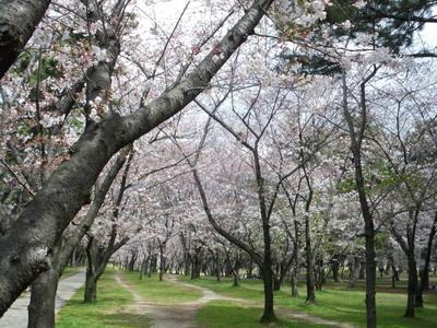 浜寺公園桜