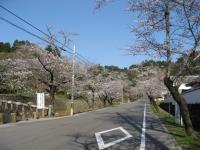 人吉の桜並木