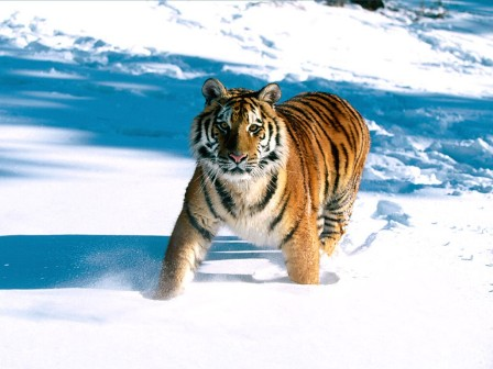 Majestic20Grace,20Siberian20Tigerb