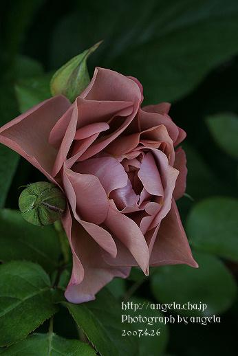 rf~lavenderpinokio1