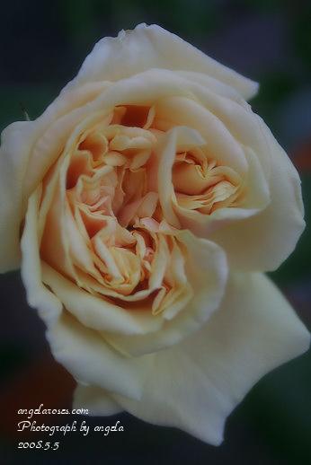 ro~bouquetdor3