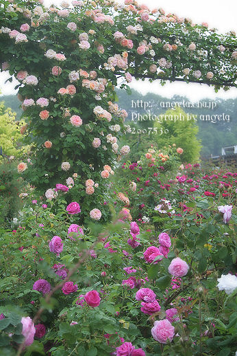 rose26.jpg