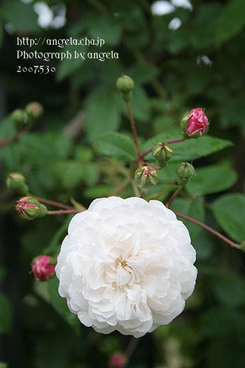 rose28.jpg