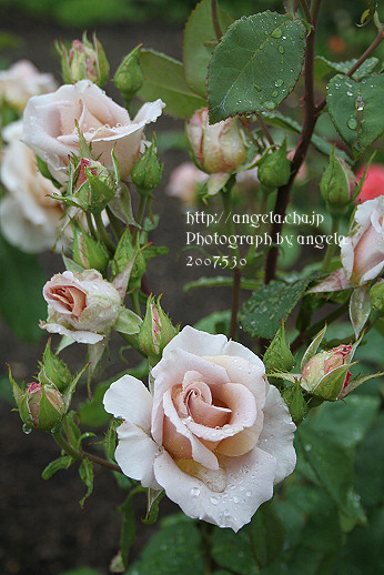 rose30.jpg